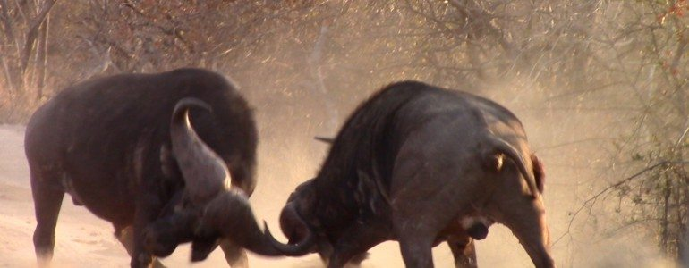 Buffalo fight at Pondoro Game Lodge