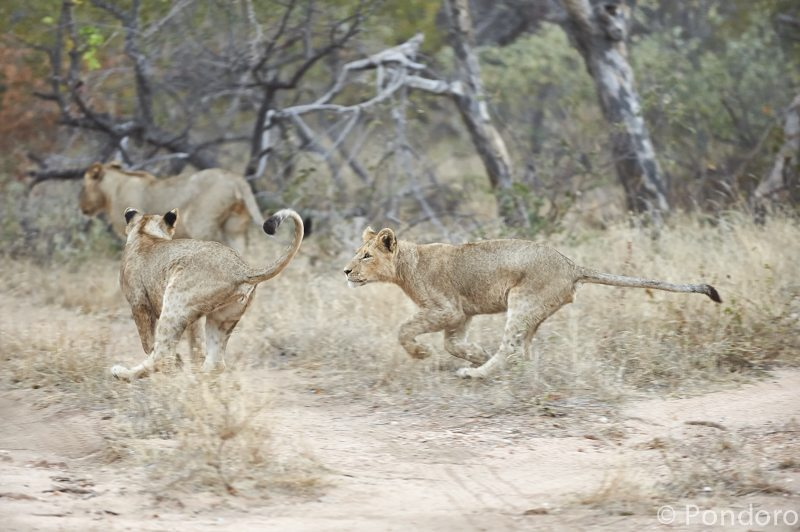 Lions playing at Pondoro Game Lodge