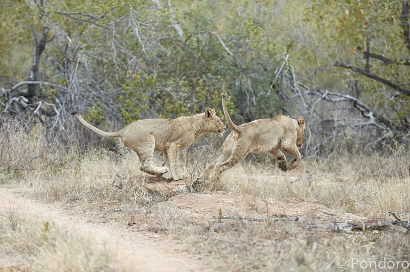 Lions chasing at Pondoro Game Lodge