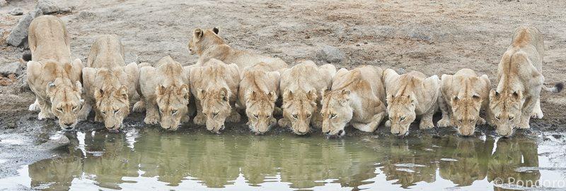 Lions drinking at Pondoro