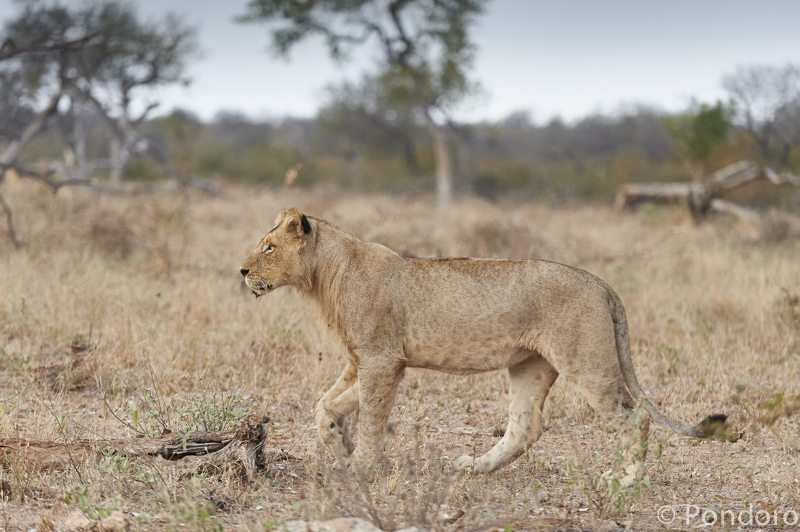 Lion hunt at Pondoro