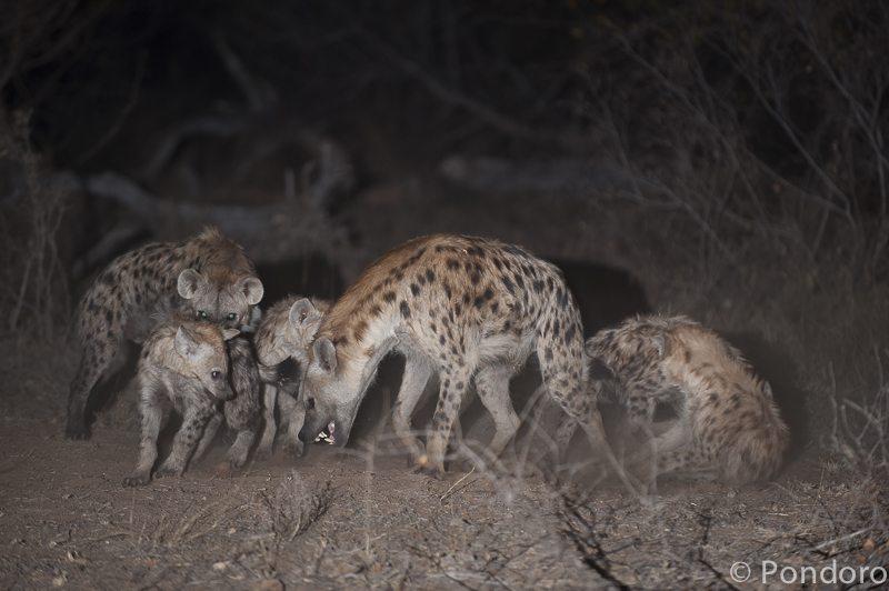 Hyenas at Pondoro Safari Lodge