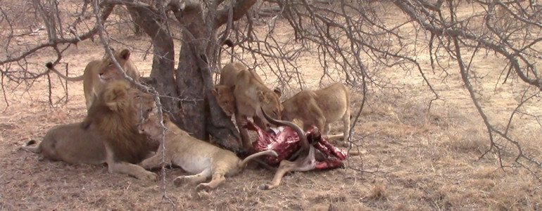 Lion pride eat kudu at Pondoro