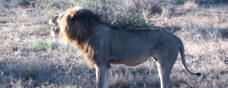 Male lion roaring at Pondoro Game Lodge