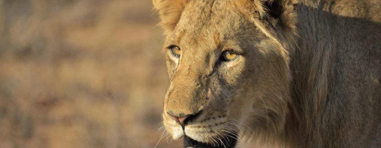 Lions at Pondoro Safari Lodge