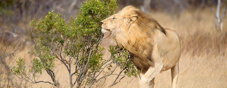 Lion marking territory at Pondoro Pondoro Safari Game Lodge