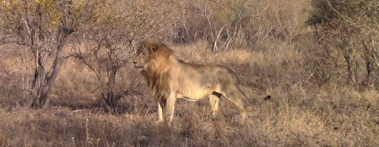 Male lion at Pondoro Game Lodge