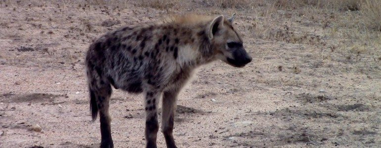 3-Legged hyena at Pondoro Game Lodge