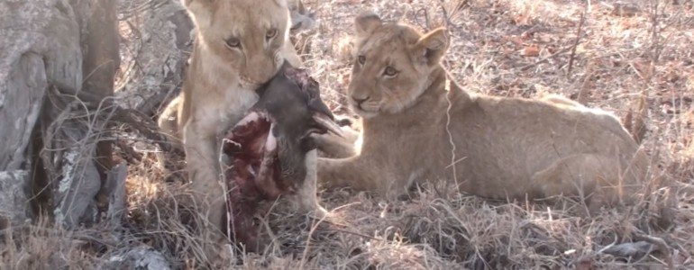 Lion cub and warthog head at Pondoro