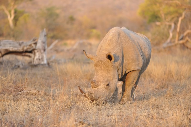 White rhino at Pondoro Game Lodge