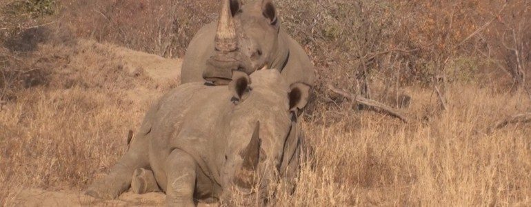 Affectionate rhinos at Pondoro Game Lodge