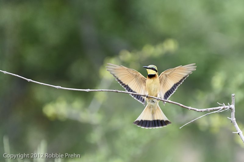 Bee-eater at Pondoro Game Lodge