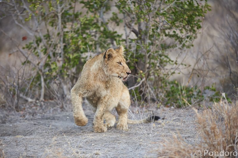 Lion cub at Pondoro