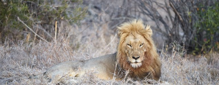 Male lion at Pondoro