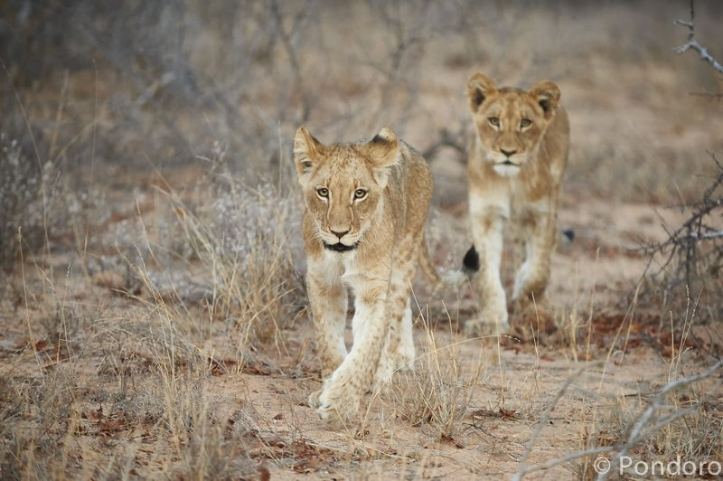 Lion cubs at Pondoro Game Lodge