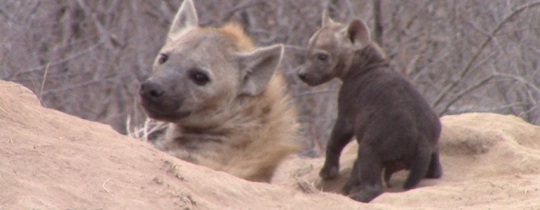 Hyena cubs at Pondoro Game Lodge