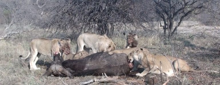 Lions eating a buffalo at Pondoro