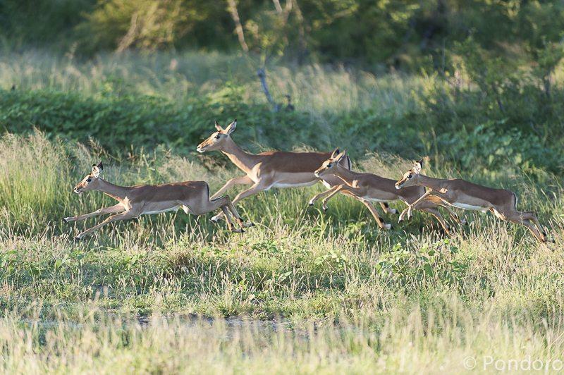 Impala at Pondoro