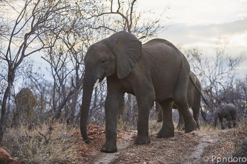 Elephant herd at Pondoro