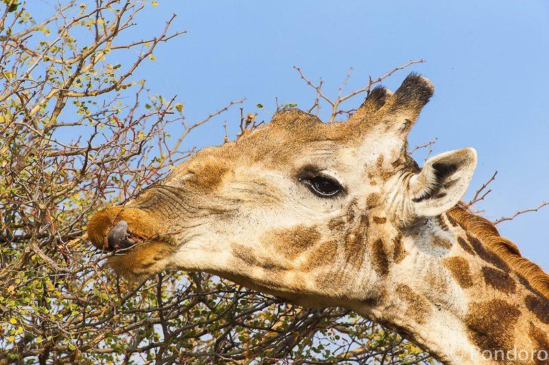 Giraffe at Pondoro Game Lodge