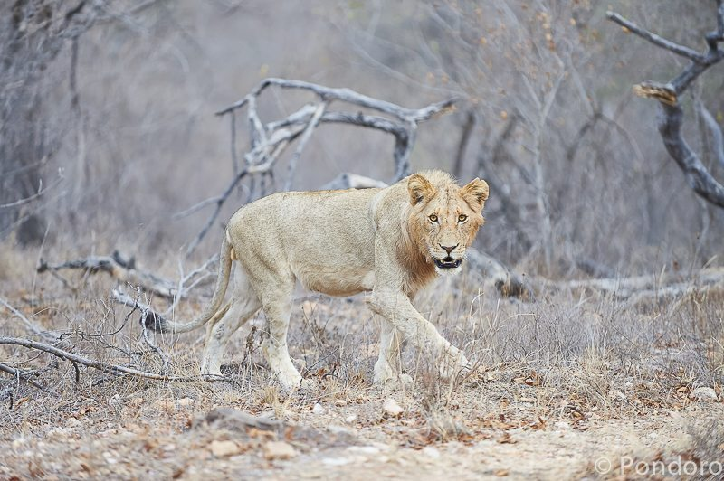 Young male lion at Pondoro