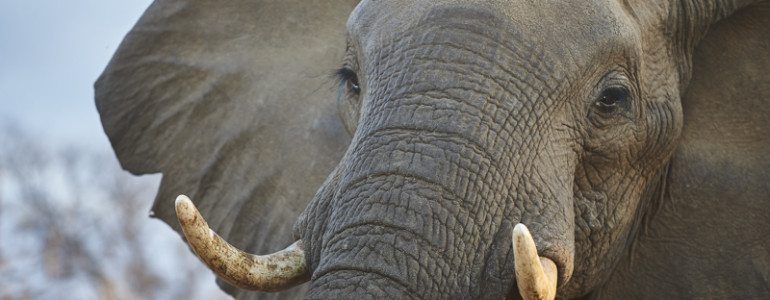 Elephant bull at Pondoro Game Lodge