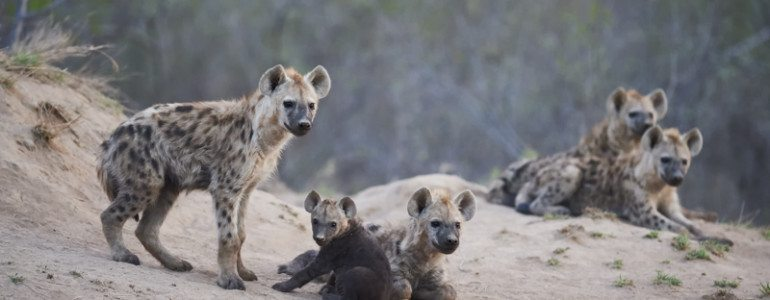 Hyenas at Pondoro Game Lodge
