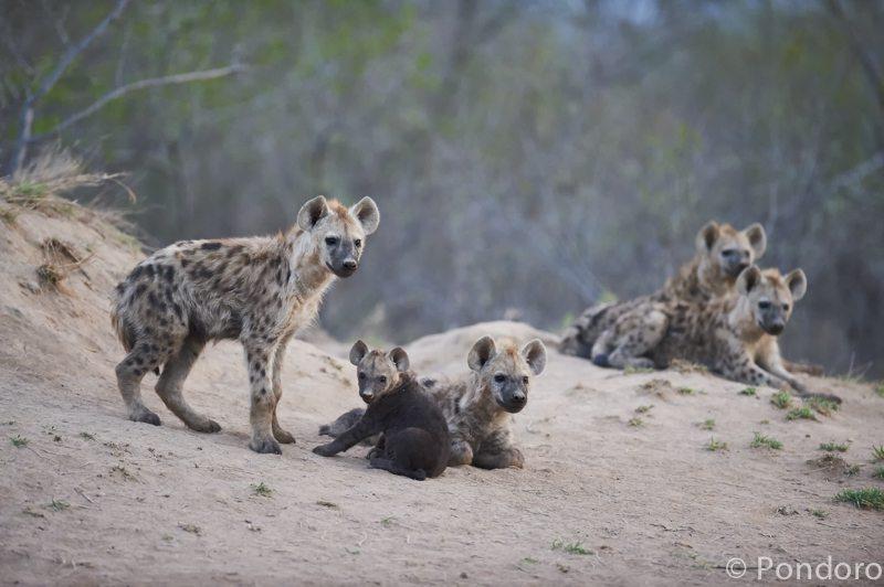 Hyenas at Pondoro Game Lodge