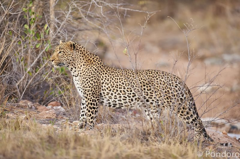 Leopard at Pondoro Game Lodge