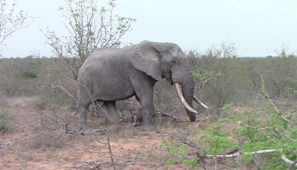 Elephant with huge tusks at Pondoro Safari Game Lodge
