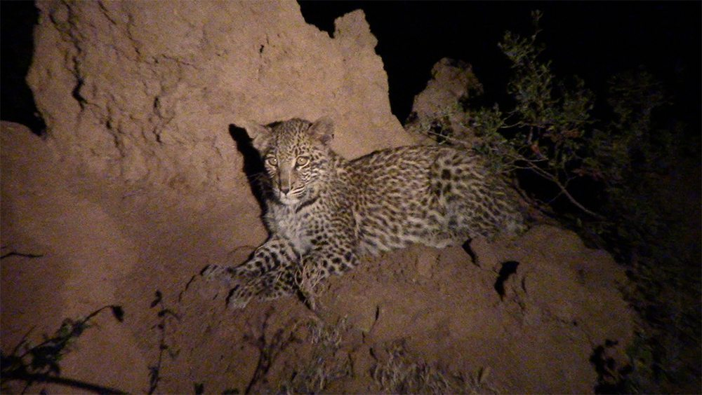 Leopard cub during Pondoro safari
