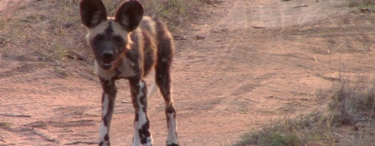 Wild dog at Pondoro Game Lodge
