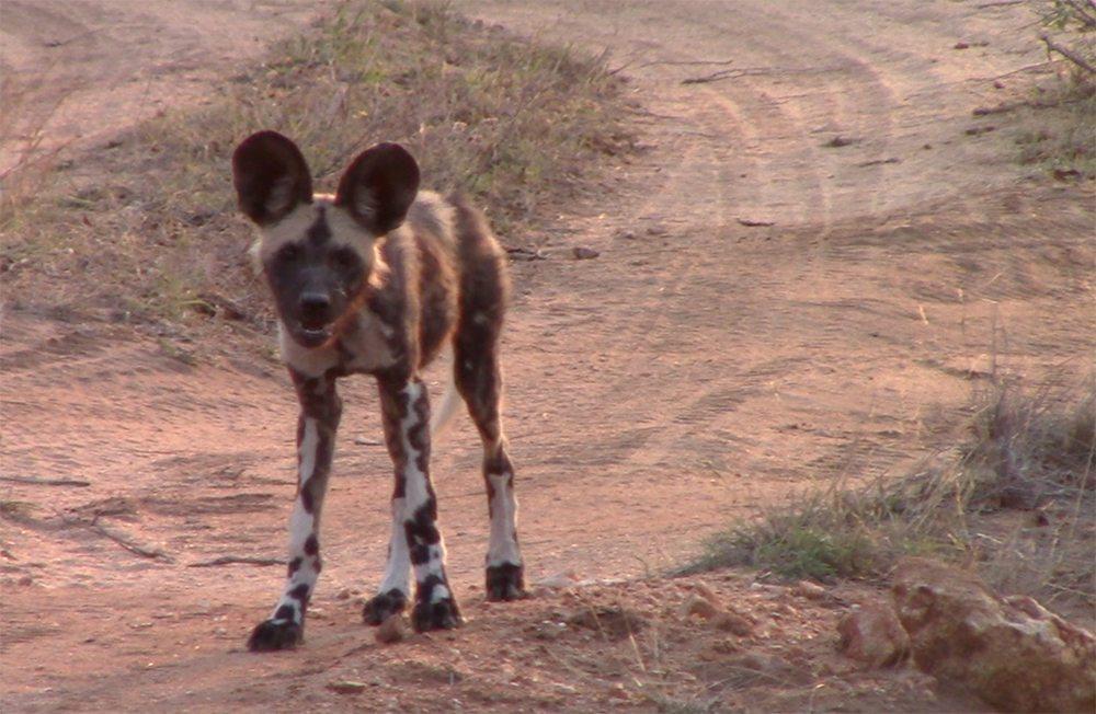 African wild dog safari Pondoro Safari Game Lodge