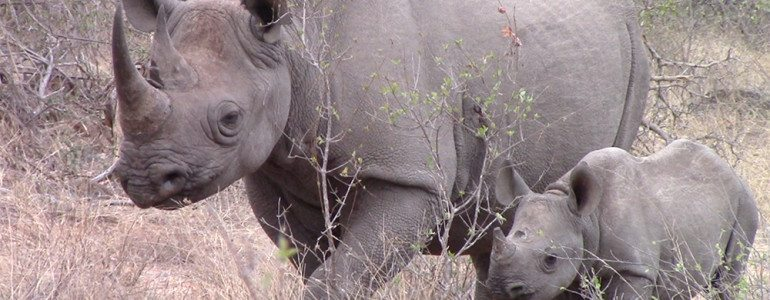Black rhinos at Pondoro Game Lodge