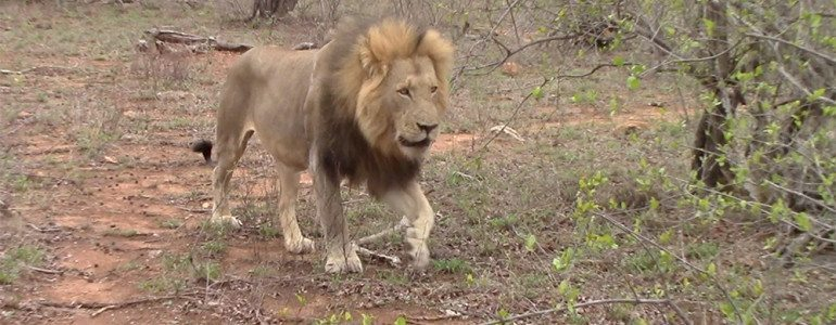 Male lions at Pondoro Game Lodge