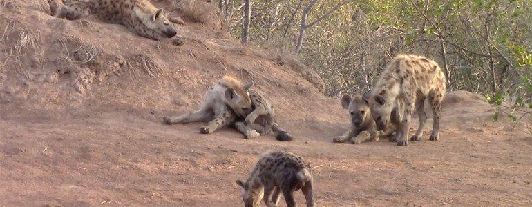 Hyenas at den site Pondoro Game Lodge