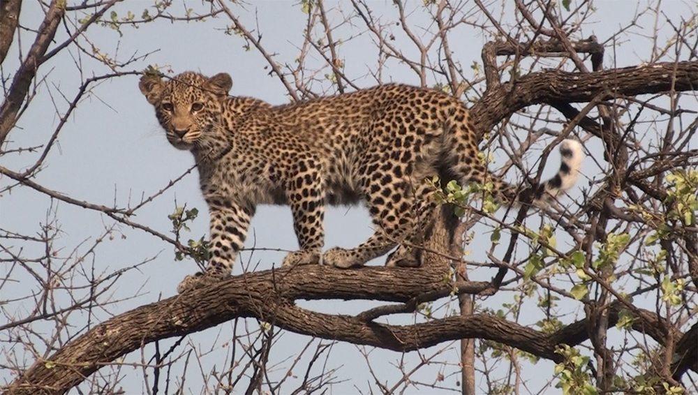 Leopard cub at Pondoro Game lodge