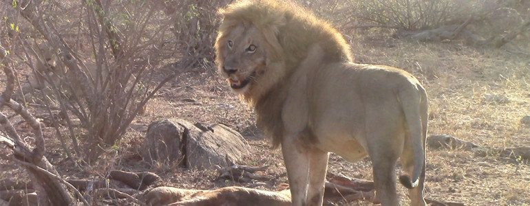 Lion drags giraffe at Pondoro Game Lodge