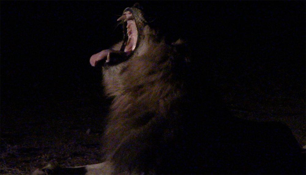 Lion night safari at Pondoro Safari Lodge