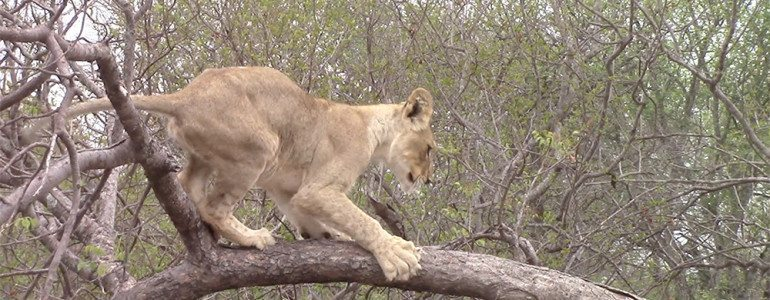 Lion in tree at Pondoro Game Lodge