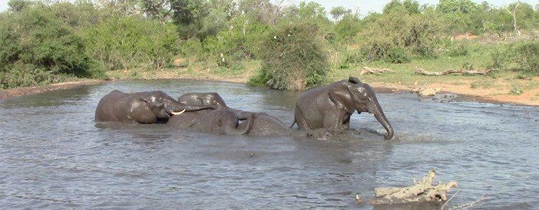 Elephants swimming at Pondoro Game Lodge