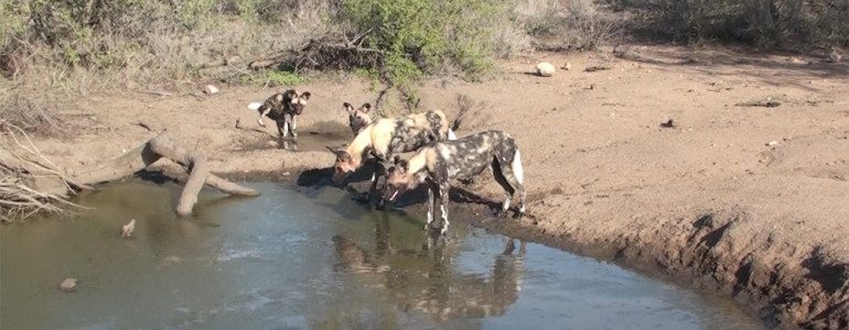 African wild dogs at Pondoro Game Lodge