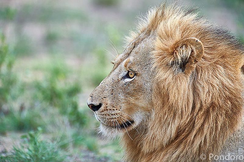 Lion at Pondoro Safari Lodge