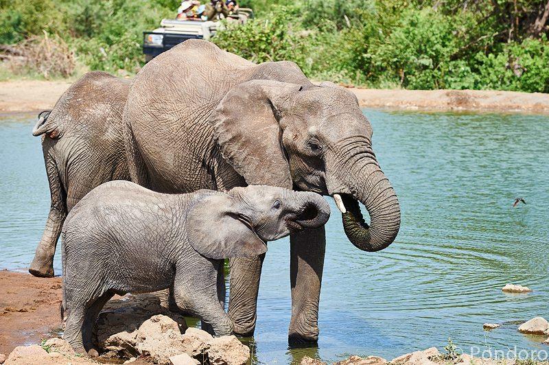 Elephants at Pondoro Game Lodge