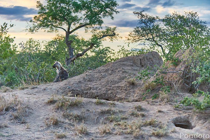 Hyena cub at Pondoro Game Lodge