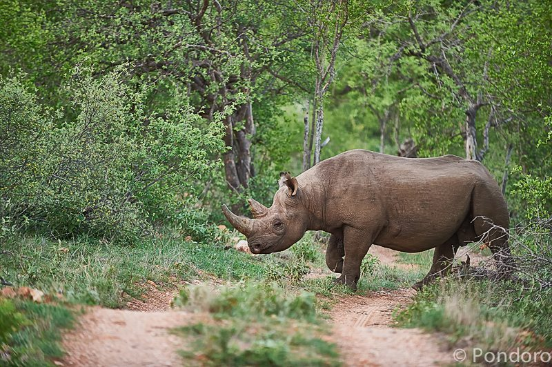 Black rhino bull at Pondoro Game Lodge