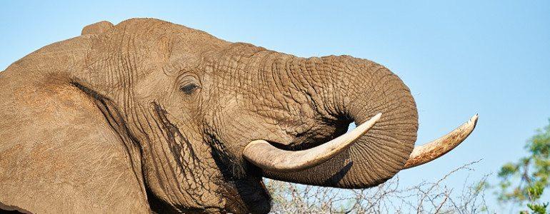 Elephant bull at Pondoro Game Lodge