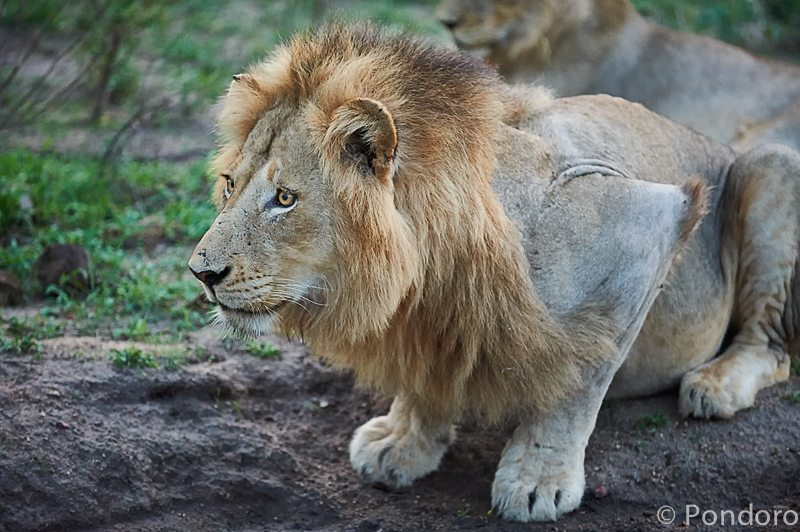 Pondoro Game Lodge lion