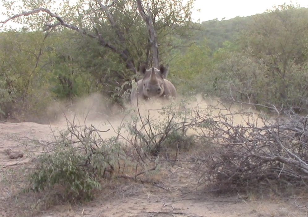 Black rhino charge at Pondoro Game Lodge