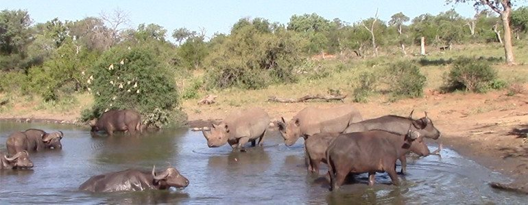 Buffaloes, rhinos and elephant at Pondoro Game Lodge